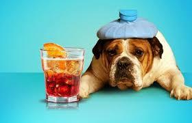 Dog drinking alcohol
