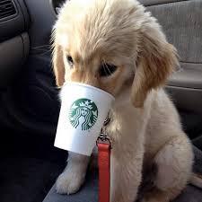 Dog drinking starbucks