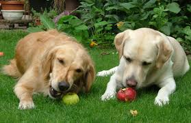 Dog eating plums