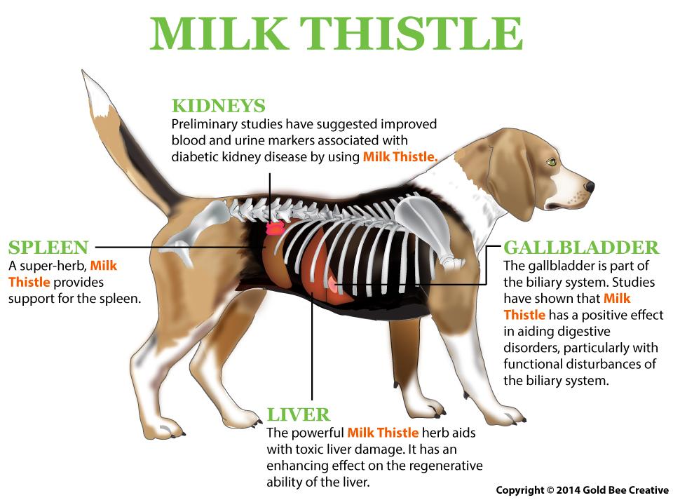 Liver disease all that dog milk thistledogdiagram ccuart Choice Image