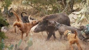 Ridgeback hogs